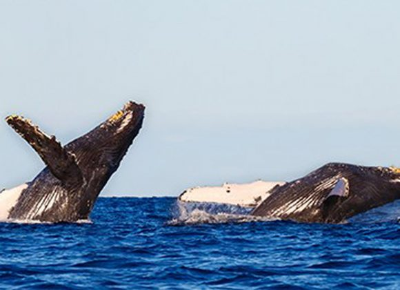 Whale Watching Season Swims into Puerto Vallarta